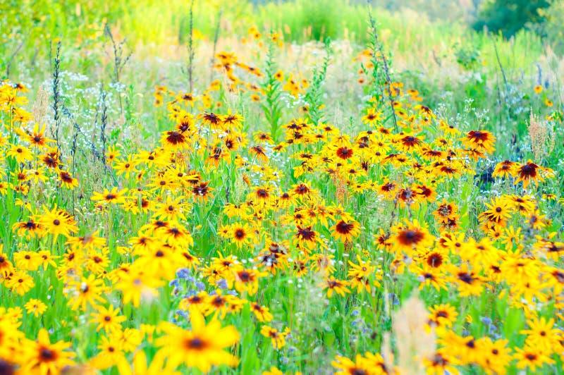 Heldere gouden gele bloemen van Echinacea in een tuin Zonnige de zomerdag royalty-vrije stock afbeeldingen