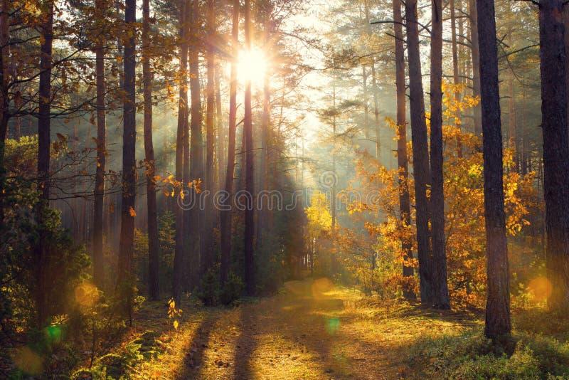 Heldere gouden zonnestralen op achtergrond van de dalings de bos Gouden herfst stock afbeeldingen
