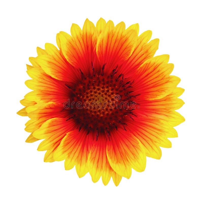 Heldere kleurrijke bloem gele, rode en oranje die kleur op witte achtergrond wordt geïsoleerd Bloem Gaillardia stock fotografie