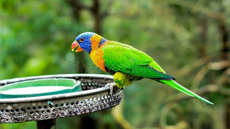 Heldere Kleurrijke Papegaai royalty-vrije stock foto's