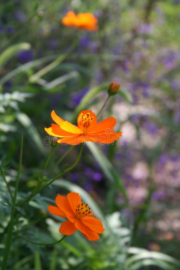Heldere Kosmosbloemen royalty-vrije stock foto