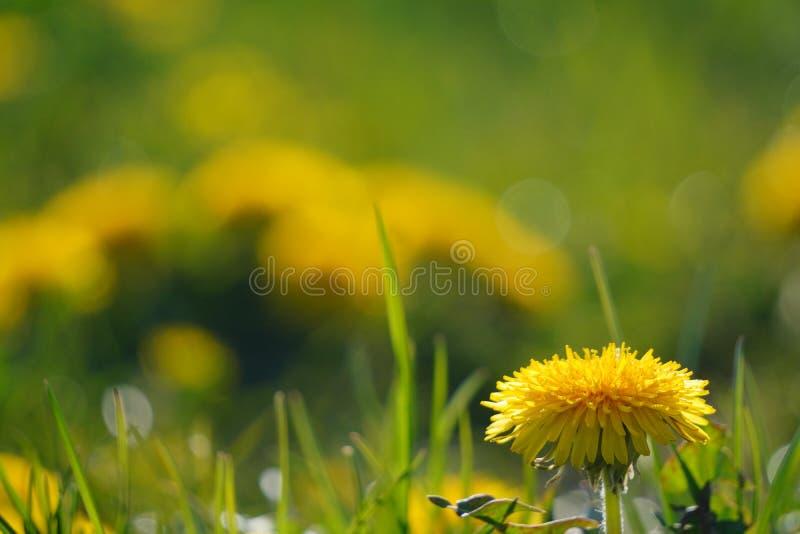 Heldere lentandelionen bloeien langs de weg Groen gras, geel en witte wilde bloemen Kopieerruimte Schitterend landschap royalty-vrije stock foto's