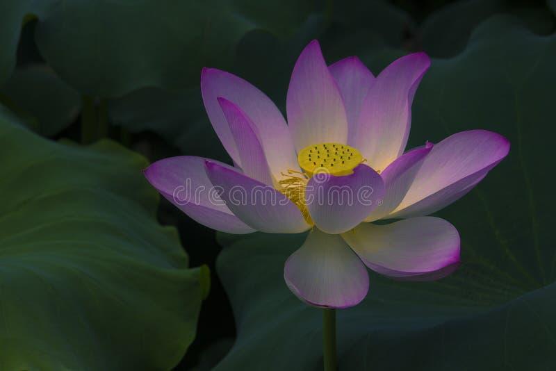 Heldere lotusbloem royalty-vrije stock afbeeldingen