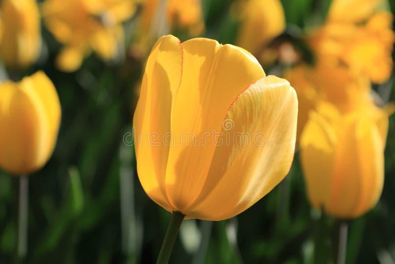 Heldere mooie de lente gele tulp, die door de stralen van de zon op een achtergrond van gele tulpen glanzen royalty-vrije stock foto