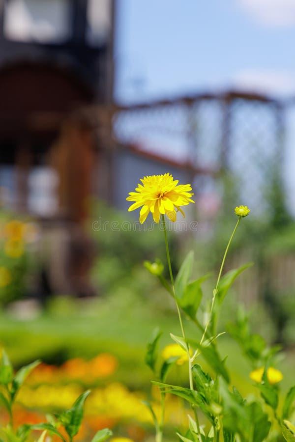 Heldere mooie gele bloemen op een oude huisachtergrond stock afbeeldingen