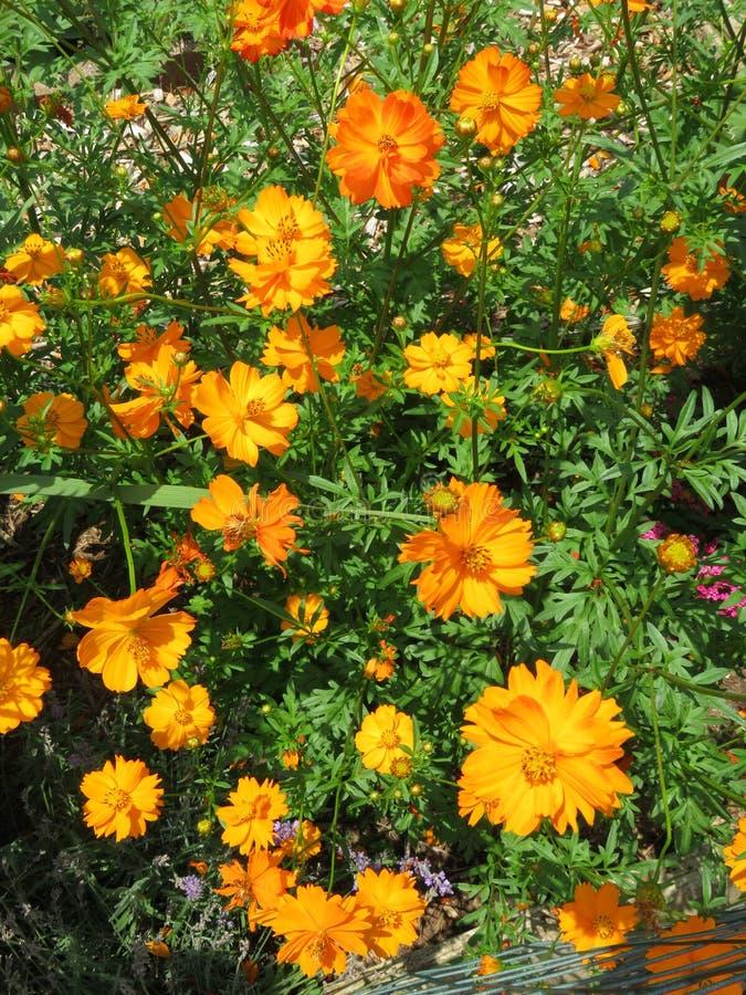 Heldere Oranje Bloemen in de Zomer in Juli royalty-vrije stock foto's