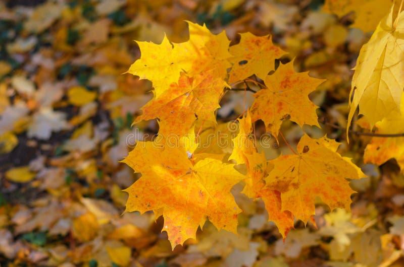 Heldere oranje esdoornbladeren in Oktober royalty-vrije stock afbeeldingen