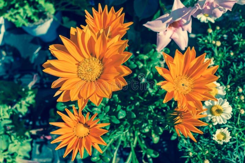 Heldere oranje Gazania-bloem van splendenssoort asteraceae in DA stock afbeelding