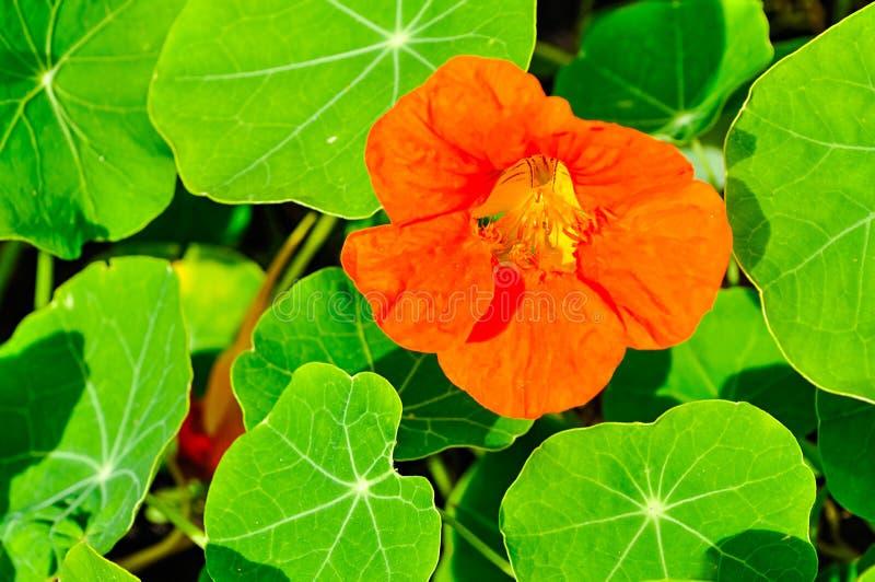 Heldere oranje Oostindische kersbloem in Latijnse Tropaeolum stock afbeelding
