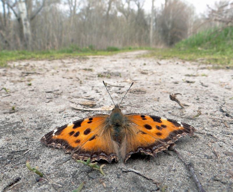 Heldere oranje vlinder op de zandige weg De lentevlinders Exemplaarruimten stock afbeeldingen