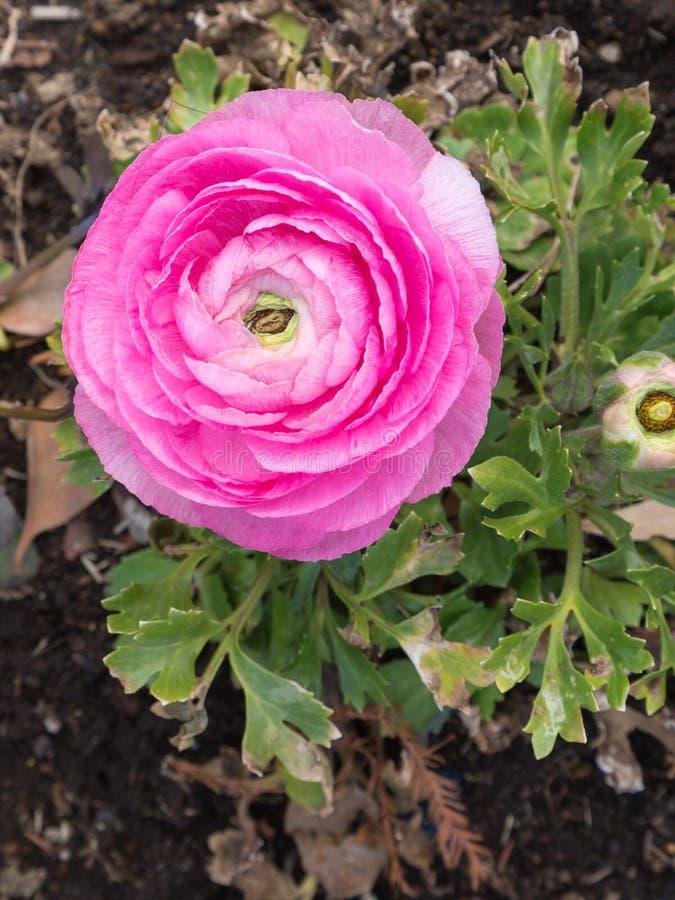 Heldere purper-roze bloem stock afbeeldingen