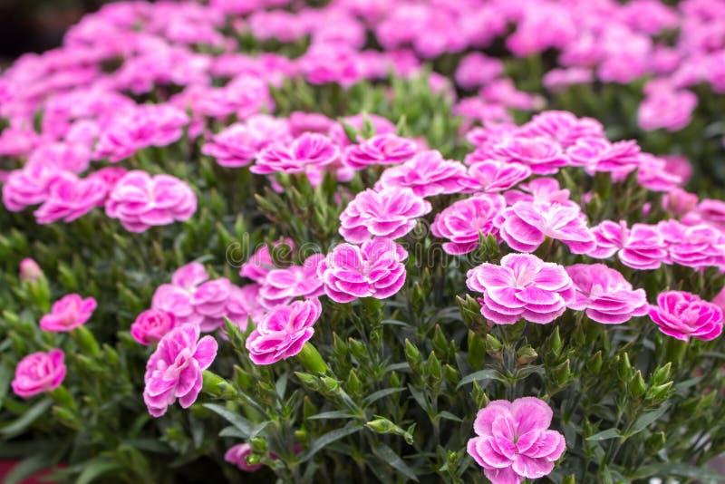 Heldere purpere anjerbloemen met groene bladeren Mooie kleine anjers Bloeiende bloemen in tuin royalty-vrije stock foto's