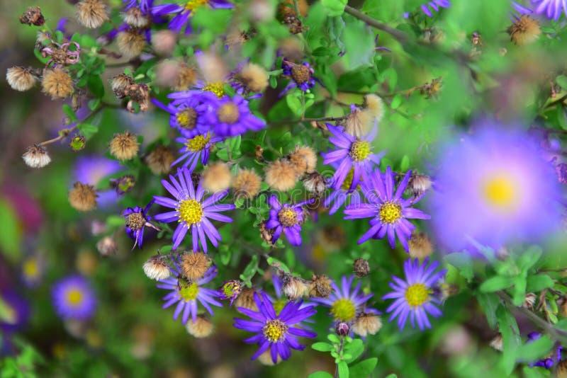 Heldere purpere bloemen die in de Botanische Tuinen van Christchurch bloeien royalty-vrije stock fotografie