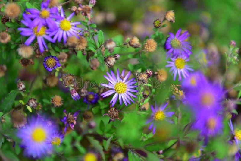 Heldere purpere bloemen die in de Botanische Tuinen van Christchurch bloeien stock fotografie