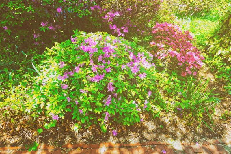Heldere purpere en roze struiken van bloemen in de parklente stock afbeeldingen