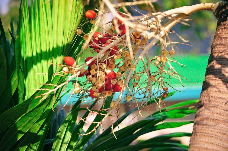 Heldere rode bessen die palm met grote groene bladeren kweken stock afbeelding