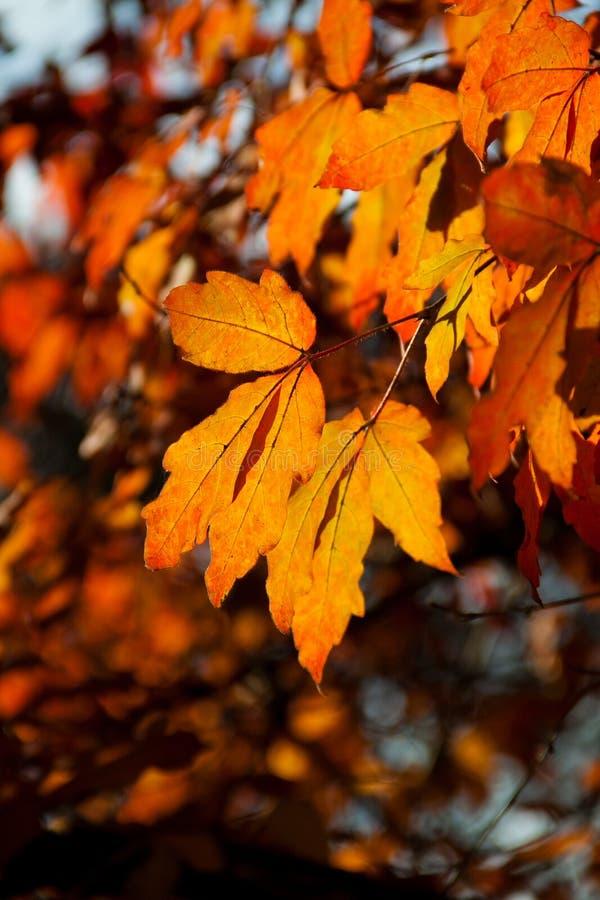 Heldere rode bladeren in de Herfst royalty-vrije stock foto