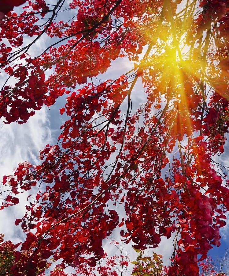 Heldere rode bladeren op de takken van een esdoorn tegen de hemel Prachtige zonnige warme dag stock afbeelding