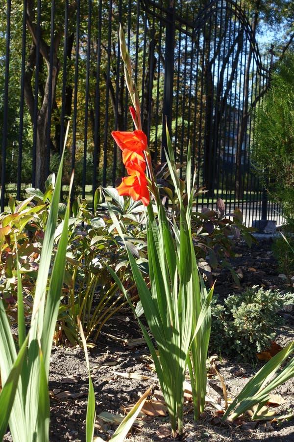 Heldere rode bloem van Gladiolen royalty-vrije stock afbeelding