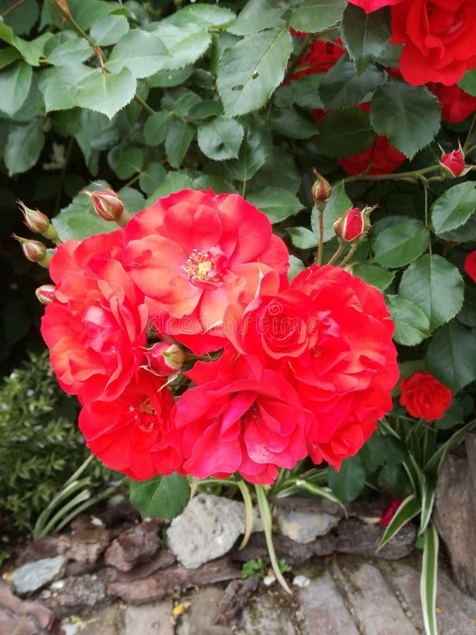 Heldere rode bloemen stock fotografie