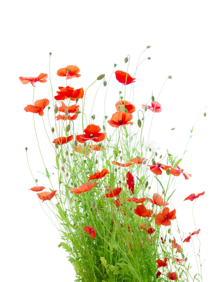 Heldere Rode die Graanpapavers op Wit worden geïsoleerd (Papaver Rhoeas) stock afbeeldingen
