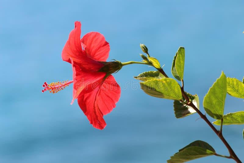 Heldere Rode Hibiscusbloem - Malvaceae royalty-vrije stock foto