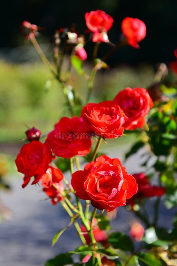 Heldere rode rozen die in Botanische Tuinen, Christchurch bloeien stock foto's