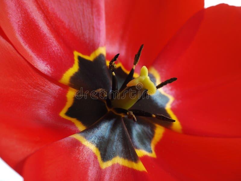 Heldere rode tulp royalty-vrije stock fotografie
