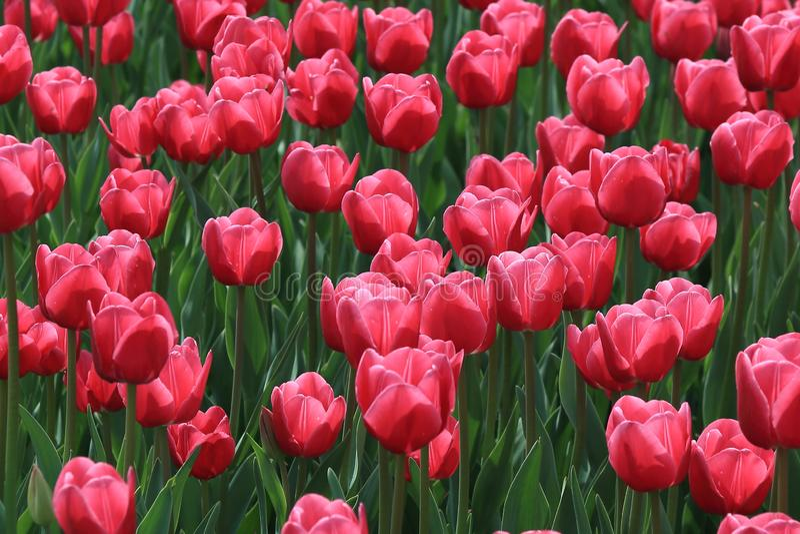 Heldere rode tulpen die in de mooie lente bloeien royalty-vrije stock fotografie