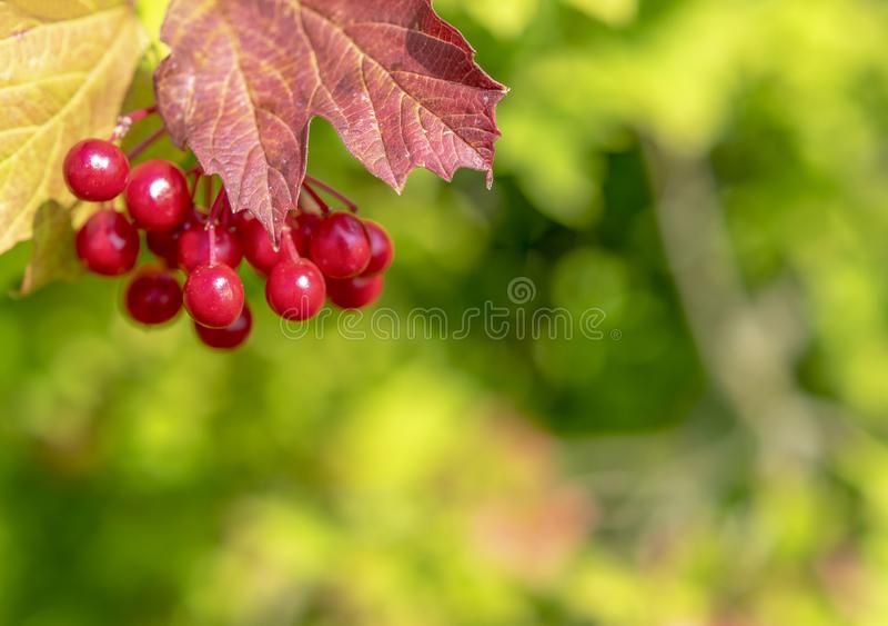 Heldere rode vruchten van viburnum stock foto