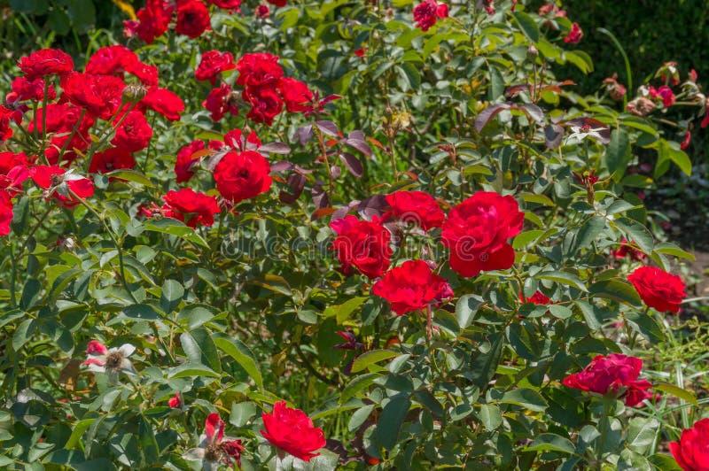 Heldere rood nam bloemen in de tuin toe De achtergrond van de aard royalty-vrije stock afbeelding