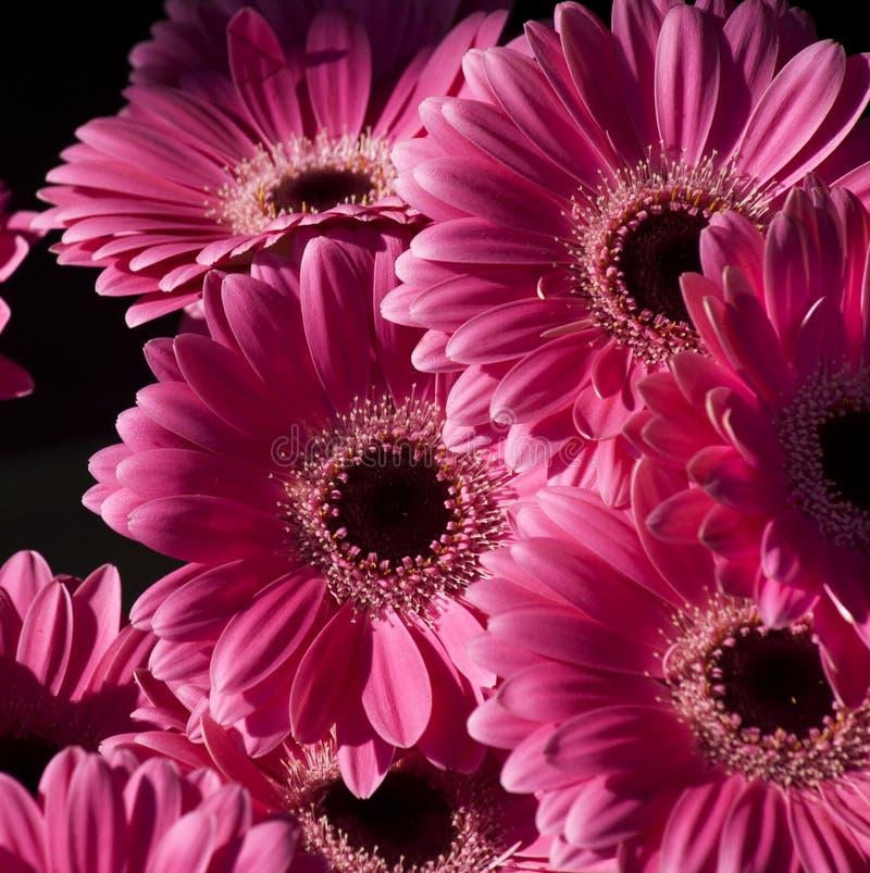 Heldere roze bloemen gerbera stock foto afbeelding for Gerbera in de tuin