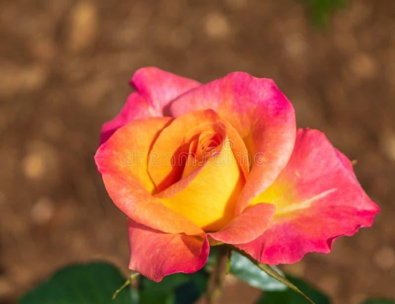 Heldere roze en geel nam toe stock foto's