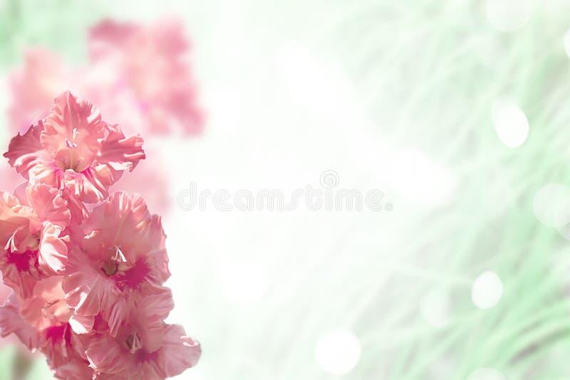 Heldere roze gladiolenbloem op vage achtergrond royalty-vrije stock afbeelding