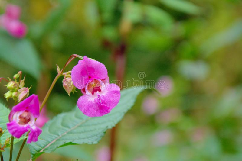 Heldere roze Himalayan-Balsembloem - Impatiens-glandulifera royalty-vrije stock foto's