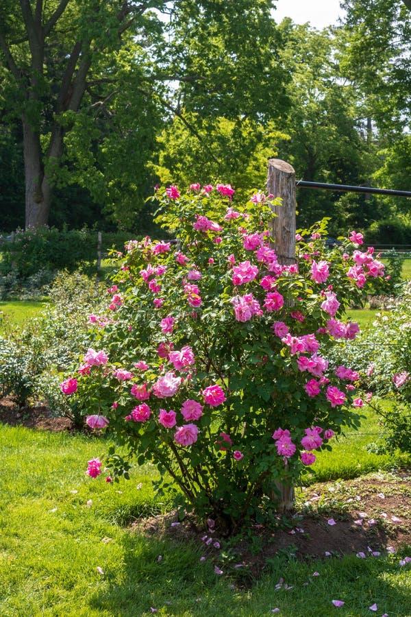 Heldere roze nam struik naast een omheiningspost toe stock afbeeldingen