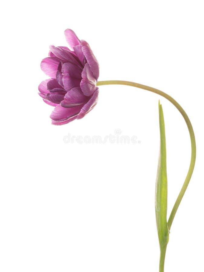 Heldere roze purpere tulpenpioen stock fotografie