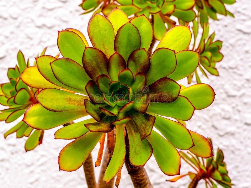 Heldere succulente installatie, Jovibarba, met rode randen en uiterst kleine prikkelingen stock afbeeldingen