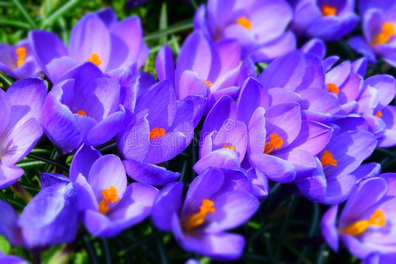 Heldere ultraviolette krokussenbloemen royalty-vrije stock afbeelding