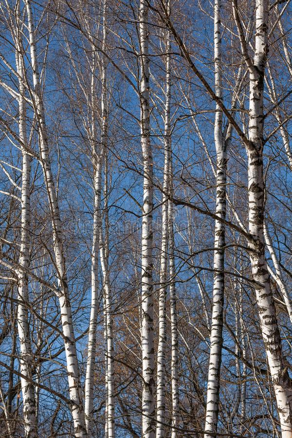 Heldere witte boomstammen van berken tegen blauwe hemel De herfst, bladeren vloog rond stock foto