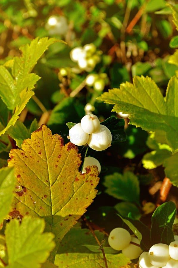 Heldere witte snowberry bessen - in Latijnse Symphoricarpos albus- op de boom onder het zonlicht stock foto's