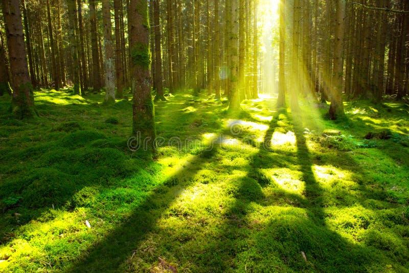 Heldere zon in het bos stock foto's