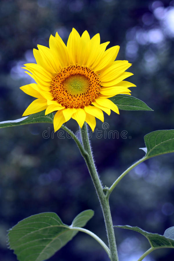 Heldere zonnebloem op koele onscherpe achtergrond royalty-vrije stock fotografie