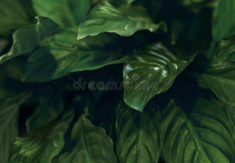 Heldergroene bladeren van een huisbloem met hoogtepunten op de bladeren stock foto