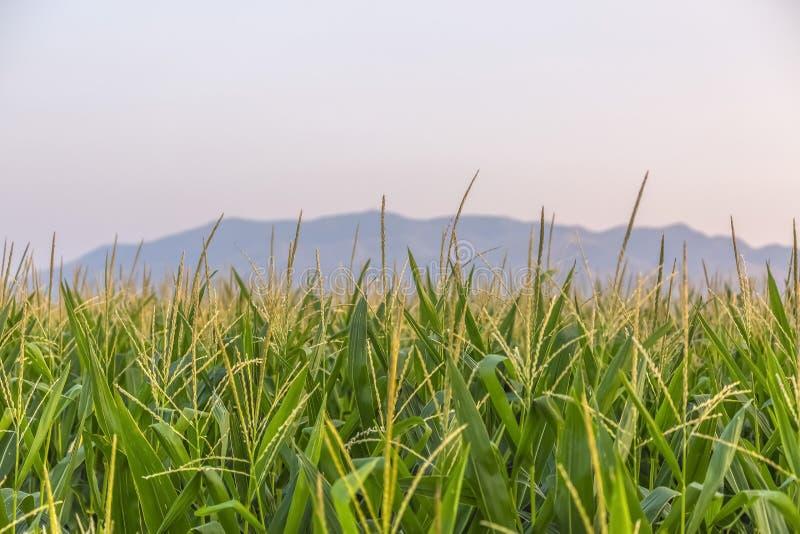 Heldergroene grassen in Eagle Mountain Utah stock afbeelding