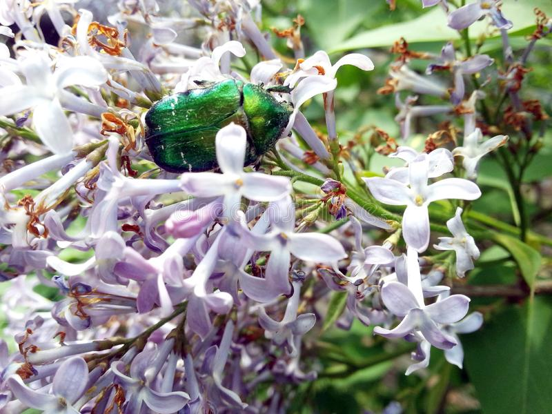 Heldergroene junikever in lilac bloem royalty-vrije stock afbeeldingen