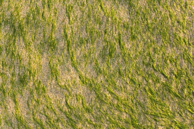 Heldergroene korte algenstok uit het lichte zand natuurlijke oppervlaktetextuur stock foto