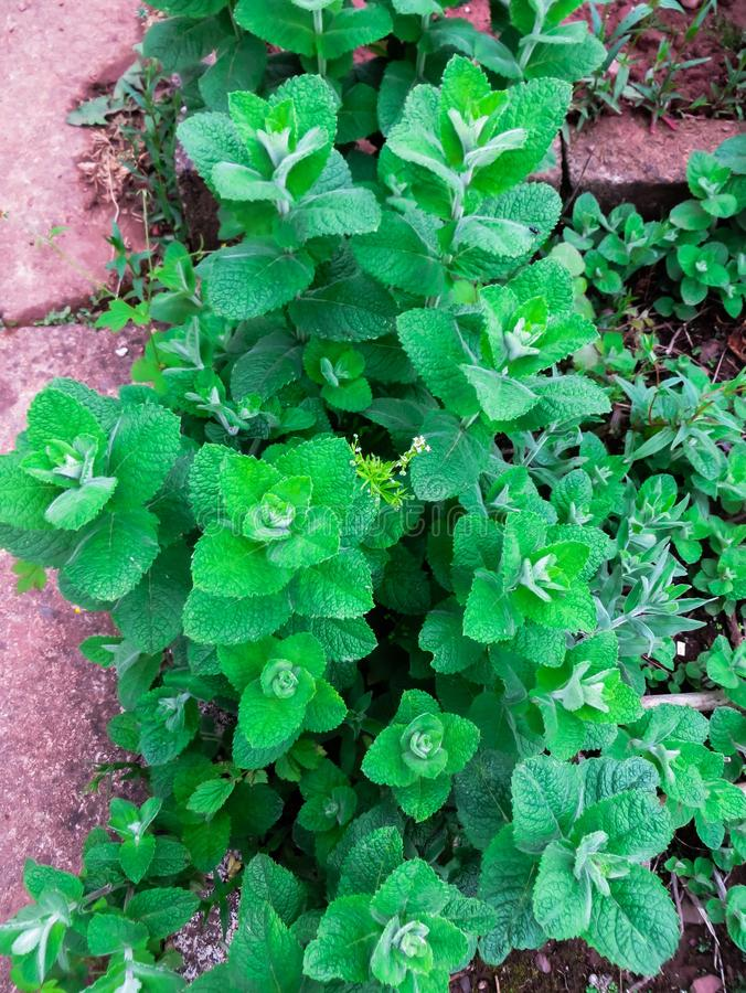Heldergroene muntbladeren, in de tuin stock afbeelding
