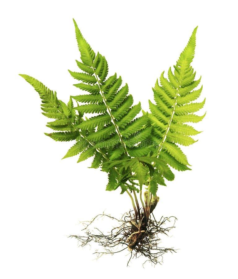 Helecho con las raíces y fronda sin el suelo aislado en el fondo blanco foto de archivo libre de regalías