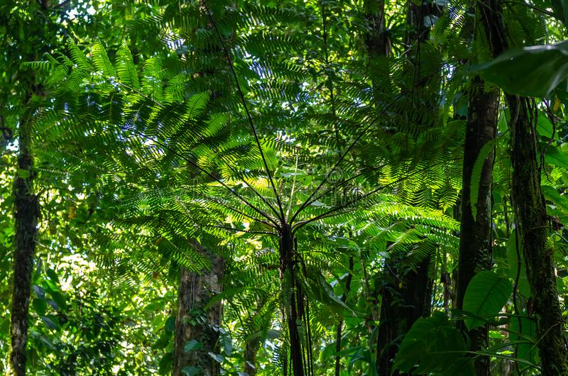 Helecho de árbol en la selva tropical, Guadalupe imagen de archivo